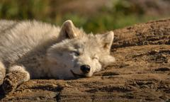 Arctic wolf relaxing in the sun. Stock Photos