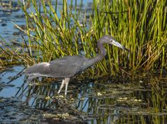Little blue heron fishing on a beautiful morning in Florida, USA. Stock Photos