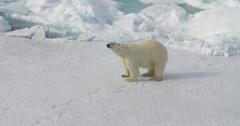 Polar Bear standing on broken sea ice Stock Footage