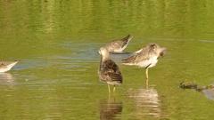 Long nose shore birds Stock Footage