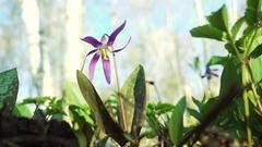 Erythronium Sibiricum Stock Footage