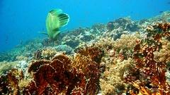 Napoleon Fish on Coral Reef, underwater scene Stock Footage