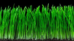Oat grass cutting time-lapse. 4k footage with alpha channel Stock Footage