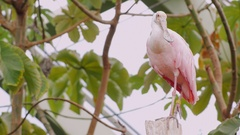 Exotic pink bird. Roseate Spoonbill Stock Footage