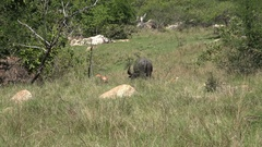 4k Wild buffalo in tropical Rinca island mountain vegetation landscape Indonesia Stock Footage