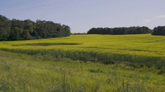 Pan left to right of Canola field in Manitoba with barn in background Stock Footage