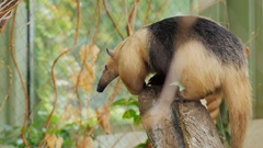 Anteater Southern Tamandua nimbly climbs the tree Stock Footage