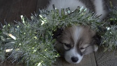 Little puppy falls asleep with Christmas decorations Stock Footage