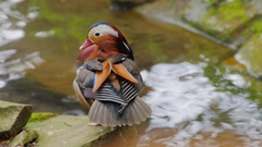 Mandarin Duck carefully cleans feathers Stock Footage