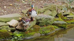 Couple of Mandarin Duck carefully cleans feathers Stock Footage