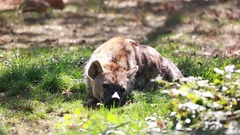 Hyena Resting On The Floor Stock Footage