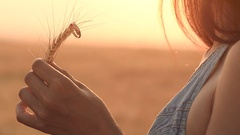 Gold rings on a wheat ear in hands of a girl Stock Footage