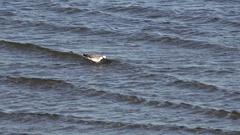 WESTERN SNOWY PLOVER, single bird in bay Stock Footage
