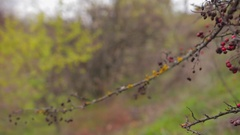 Dry red berries and yellow moss on leafless tree in autumn forest  Stock Footage