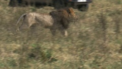 A male lion flees his rivals in masai mara, kenya Stock Footage