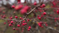 Dry red berries on leafless tree in autumn forest close up Stock Footage