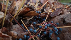 Blue berries, decorative creeper Stock Footage
