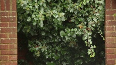 Ivy and brick wall texture Stock Footage