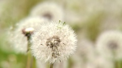 Taraxacum officinale is a flowering herbaceous perennial plant of the family Ast Stock Footage