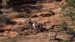 Desert Bighorn Sheep in the Rut Stock Footage