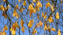 Horse-chestnut tree near a bell tower Stock Footage
