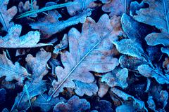Frozen oak leafage Stock Photos
