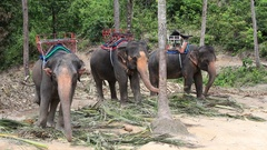 Elephant for tourist ride in elephant camp on the island Koh Phangan Thailand Stock Footage