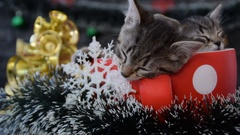 Kittens sleeping in a holiday decoration Stock Footage