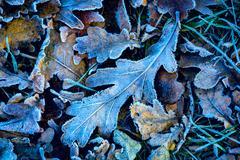 Frozen abstarct oak leafage Stock Photos