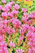 """Sedum false """"Purpurea"""" (lat. Sedum spurium """"Purpurea"""") plant Stock Photos"""