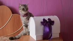 Wedding grey cat kitten Arkistovideo