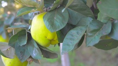 Quince tree and huts in organic farming Stock Footage
