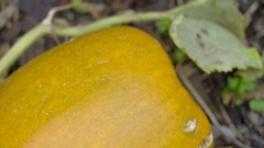 A big yellow fruit of a vegetable plant Stock Footage