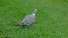A Common Wood Pigeon bird walking on the grass Stock Footage