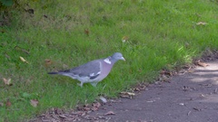 The small Columba palumbus walking on the ground Stock Footage