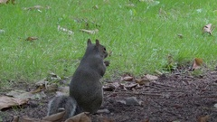 A small gray squirrel being fed by a man in the park Stock Footage