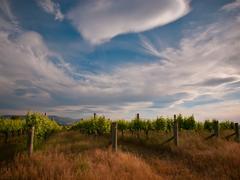 New zealand vineyard drama Kuvituskuvat