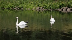 Two swans float on the lake Stock Footage