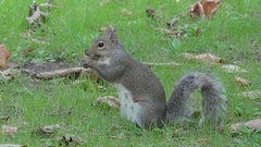 Cute little squirrel munching some food Stock Footage