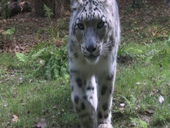 Snow leopard (Panthera uncia) walking and coming along. Stock Footage