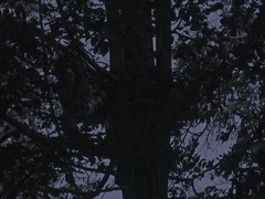 Snow leopard (Panthera uncia) leaps down from a tree at night, slow motion. Stock Footage