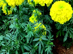 Close up of yellow marigold flowers in the park Stock Footage