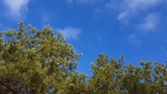 Pine tree with green pine branches. Stock Footage