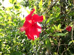 Close up of red hibiscus flower in the park Stock Footage