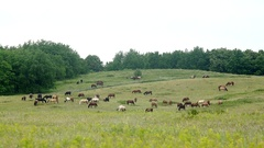 A herd of beautiful horses grazing in the meadow Stock Footage
