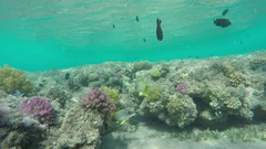 Flock of Blackspotted rubberlip fish on coral reef Stock Footage