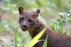 Fossa (Cryptoprocta ferox), cat-like, carnivorous mammal endemic to Madagascar Stock Photos