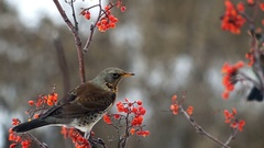 Fieldfare bird pecking a mountain ash berries sitting on a branch Stock Footage