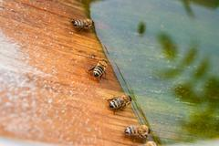 Bees drinking water at the summer. Stock Photos
