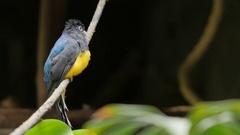 Green-backed Trogan bird. Exotic animal Stock Footage